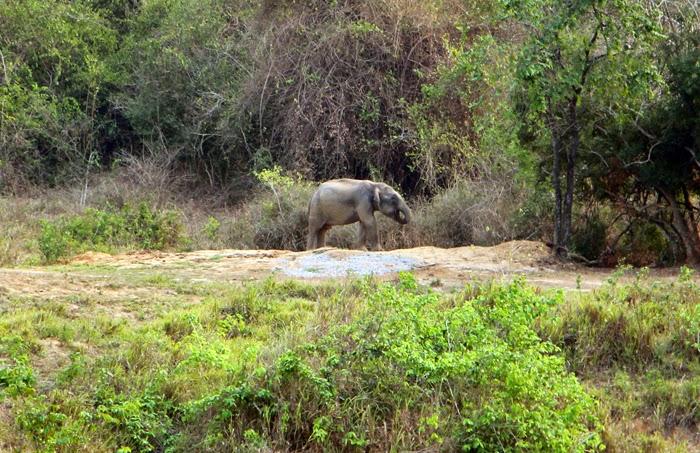 Elefantenbulle im Kui Buri Nationalpark, Thailand