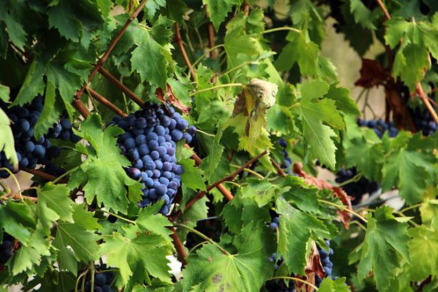 Tommasi Wein