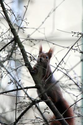 Eichhörnchen im Baum am Südfriedhof München