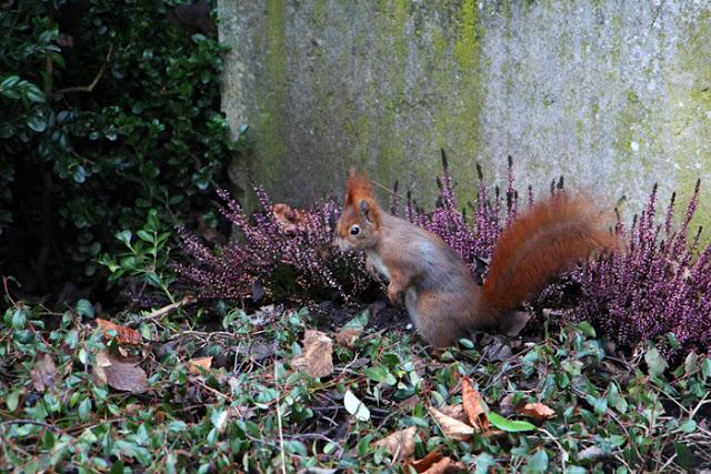 Rotes Eichhörnchen am Südfriedhof München