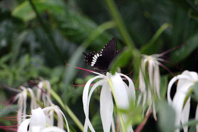 Schmetterling trinkt Nektar aus einer Orchidee