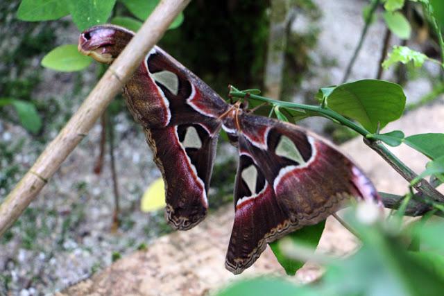 Riesiger Schmetterling im Botanischen Garten in München