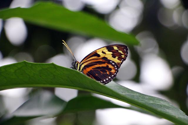 Schmetterling im Wasserpflanzenhaus des Botanischen Gartens in München