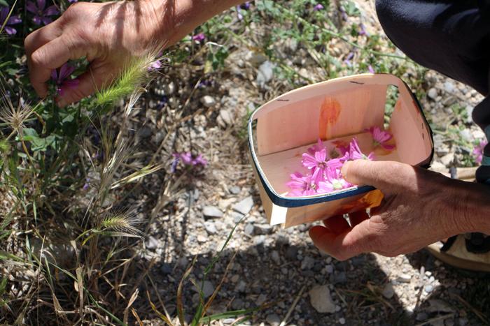 Essbare Blüten sammeln