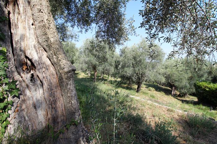 Olivenhain an der Cote d'Azur