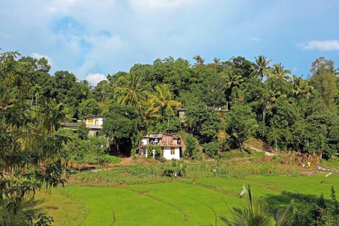 Reisfelder in Kandy