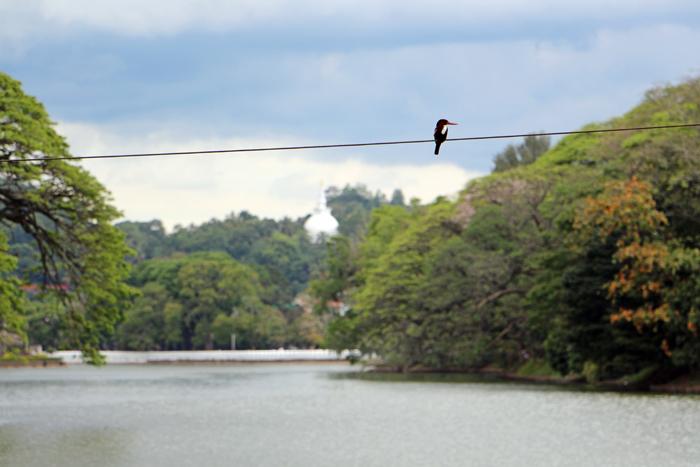 Vogel am Kandy Lake