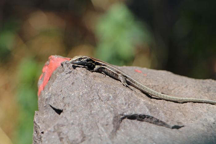 Eidechse La Gomera