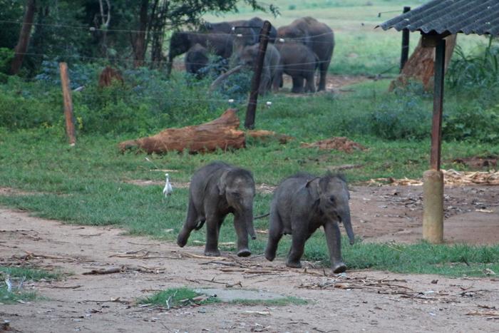 Elefantenbabys auf dem Weg zur Fütterung