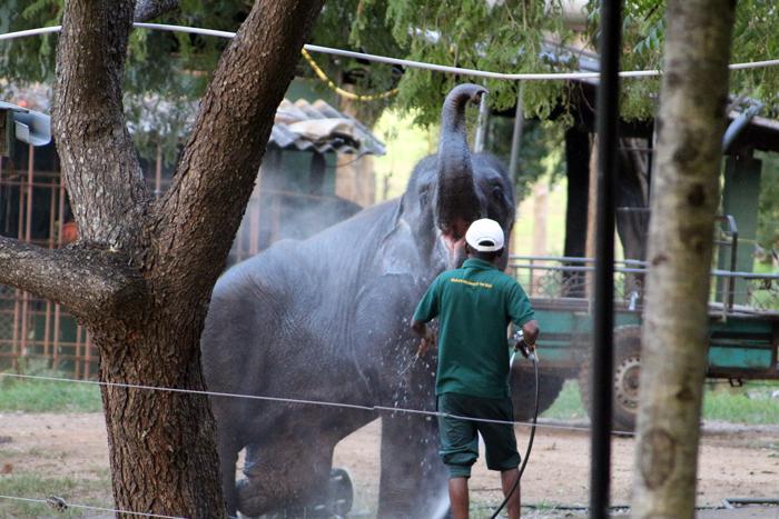 Elephant mit Prothese wird gebadet im ETH