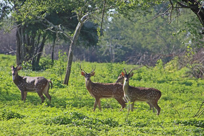 Rehe & Hirsch im Udawalawe Nationalpark, Sri Lanka