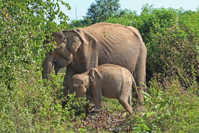 Elefanten im Udawalawe Nationalpark, Sri Lanka