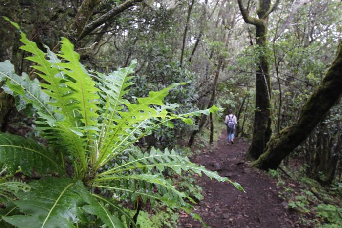 Wanderweg im Lorbeerwald, Nationalpark Garajonay