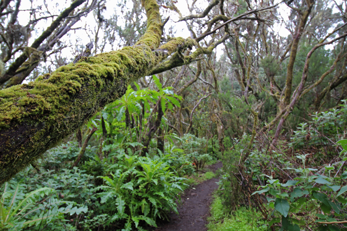Lorbeerwald im Nationalpark Garajonay