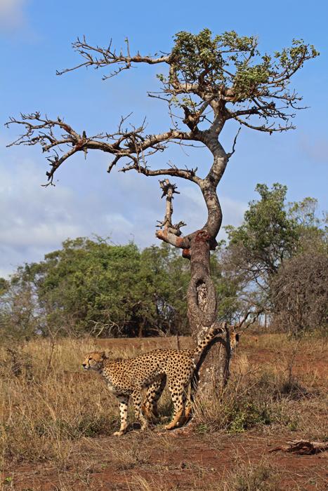 Gepard markiert sein Revier in Phinda