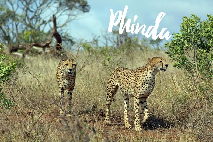 Phinda Geparden
