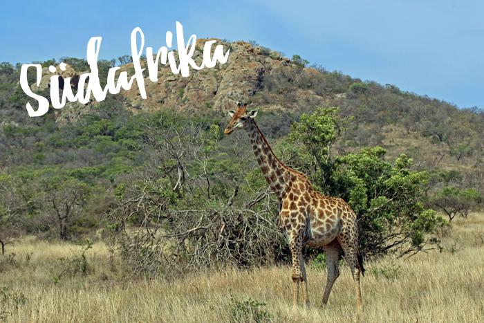 Südafrika Giraffe