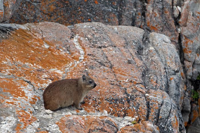 Klippschliefer auf Felsen in Hermanus