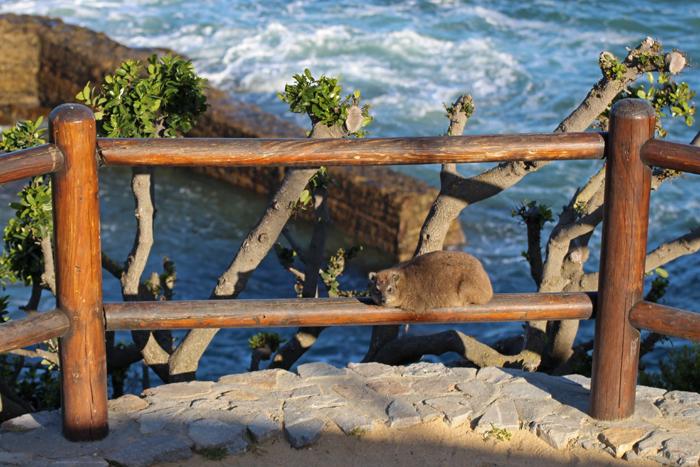 Klippschliefer chillt auf einem Zaun in Hermanus