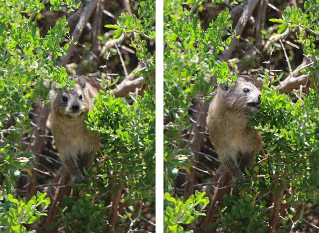 Klippschliefer im Busch, Betty's Bay Südafrika