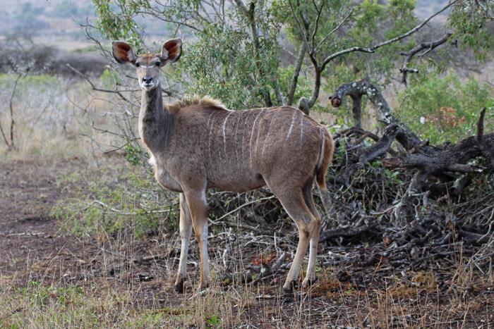 Kudu-Antilope in Phinda, Südafrika