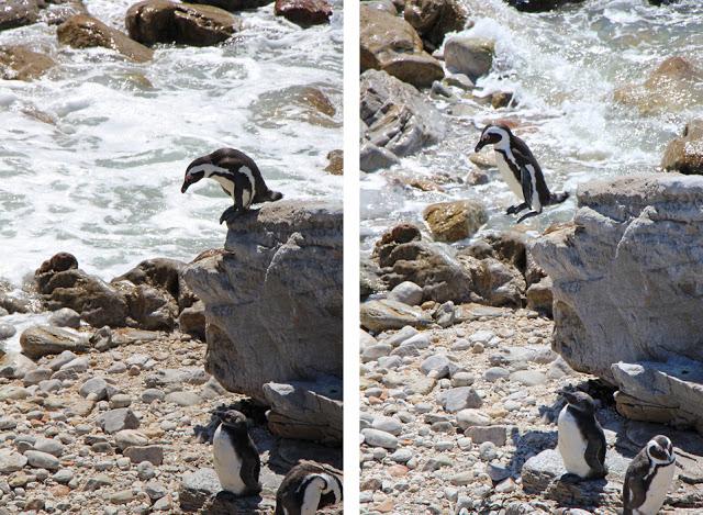 Pinguin springt von Felsen, Betty's Bay (Südafrika)