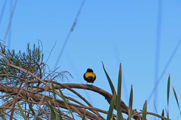 Vogel mit gelbem Rücken in Stellenbosch