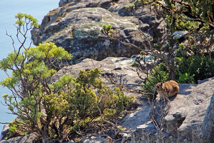 Klippschliefer am Tafelberg