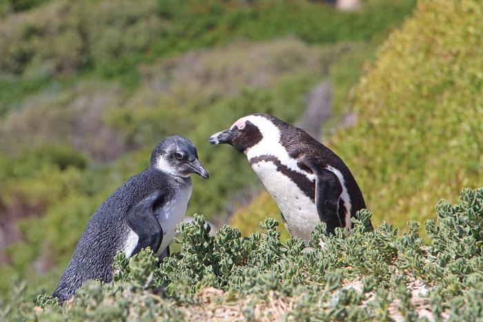Pinguin und Baby am Boulder's Beach, Südafrika