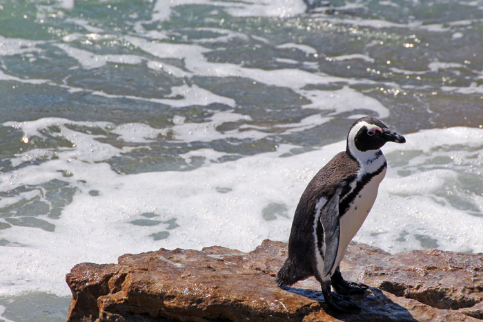 Pinguin in Betty's Bay, Stony Point (Südafrika)