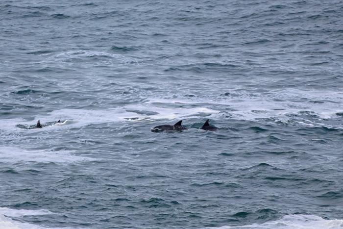 Große Tümmler vor Hermanus, Whale Watching von Land aus