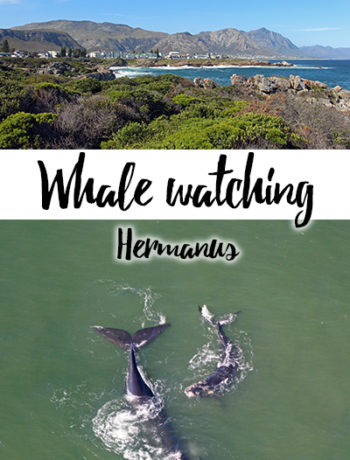 Whale watching in Hermanus, Südafrika