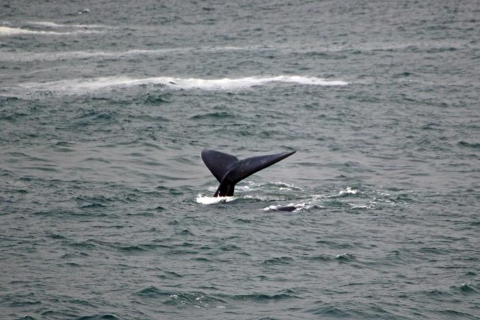 Fluke Südliche Glattwale (Südkaper)