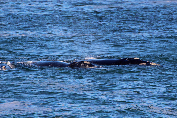 Südliche Glattwale (Südkaper)