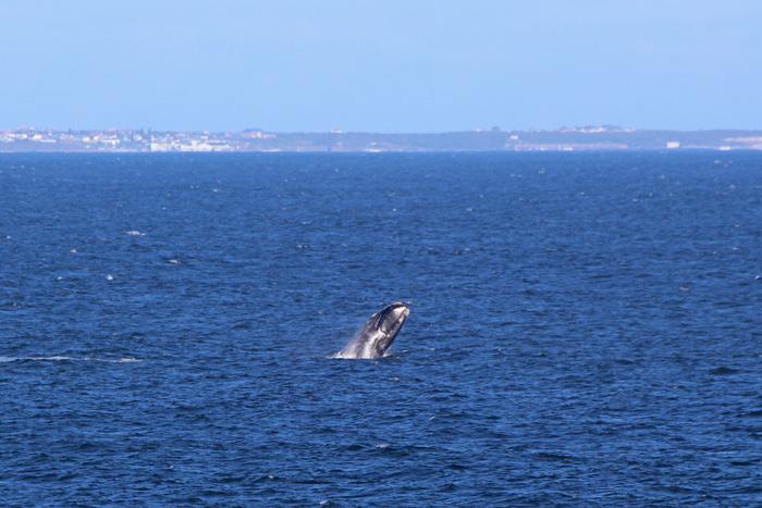 Südlicher Glattwal springt aus dem Wasser, Hermanus