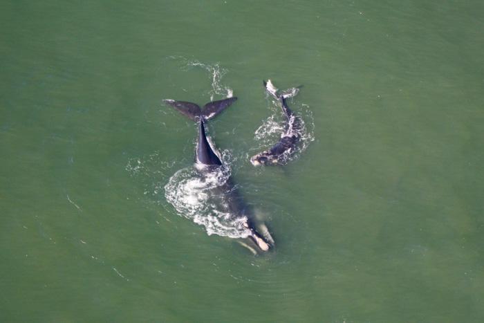 Südlicher Glattwal mit Baby