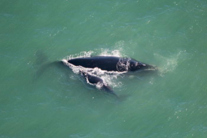 Südlicher Glattwal - Whale Watching Flug