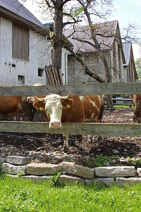 Kühe auf dem Bauernhof in Kärnten