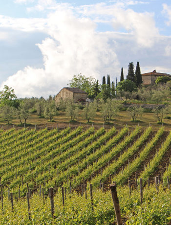 Olivenhaine und Wein in Casanuova di Ama