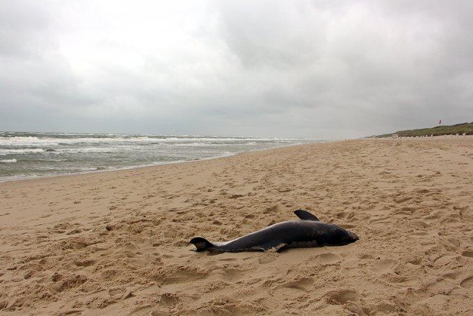 Gestrandeter Schweinswal auf Sylt