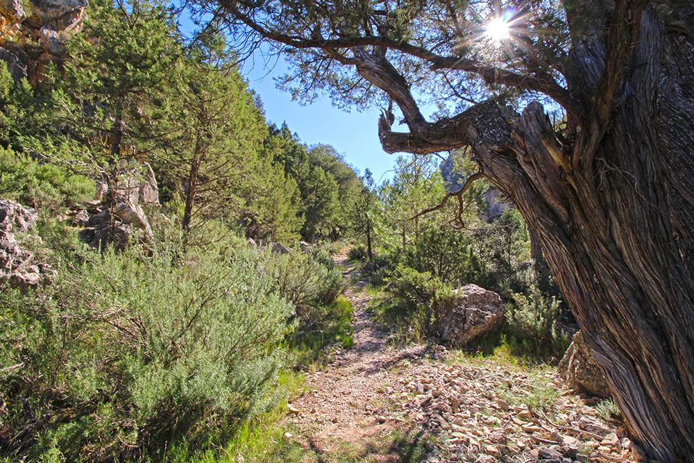 Naturpark Puebla de San Miguel mit alten Wacholderbäumen in der Provinz Valencia, Fotomotiv alte Bäume in Spanien