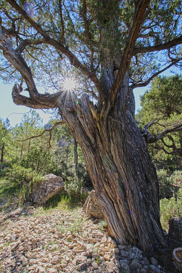 Naturpark Puebla de San Miguel, alter Wacholderbaum