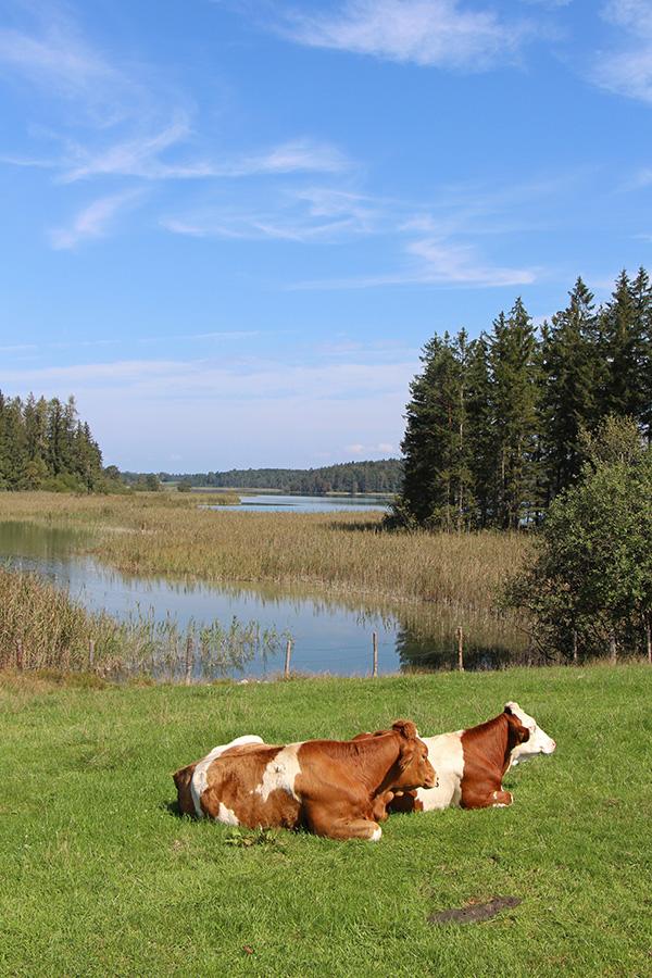 Kühe an den Osterseen