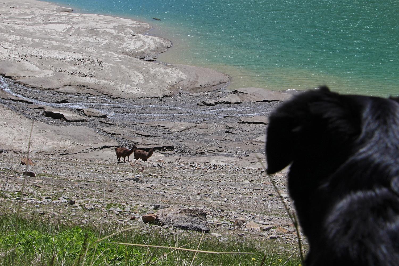 Hund Lamas am Vernagt Stausee