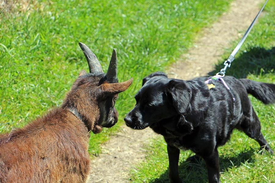 Ziege und Hund Begegnung