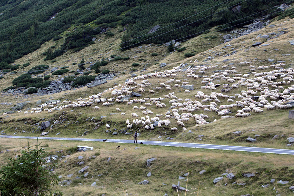 Schafsherde an der Transfagarasan Hochstrasse Rumänien