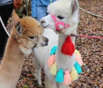 Alpakawanderung - Tipps und Tricks für eine Wanderung mit Alpakas und Lamas