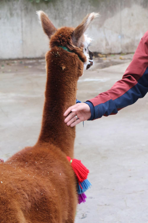 Alpakas streicheln - artgerecht